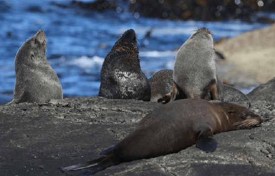Close up of a group of New Zealand fur seals sunning themselves on a rocky outcrop in Doubtful Sound