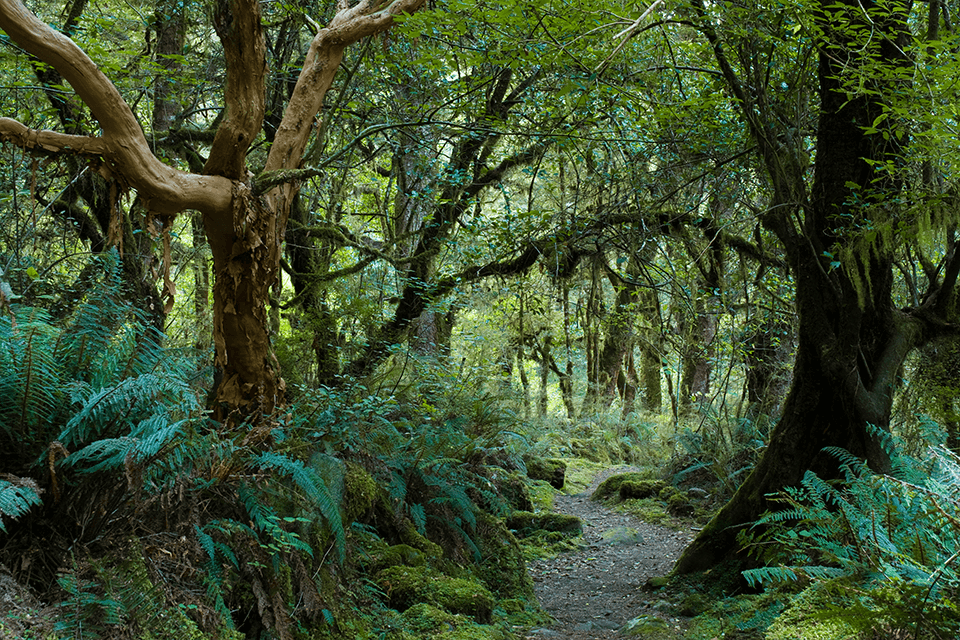 A narrow trail winding through green mossy forest of Fiordland National Park