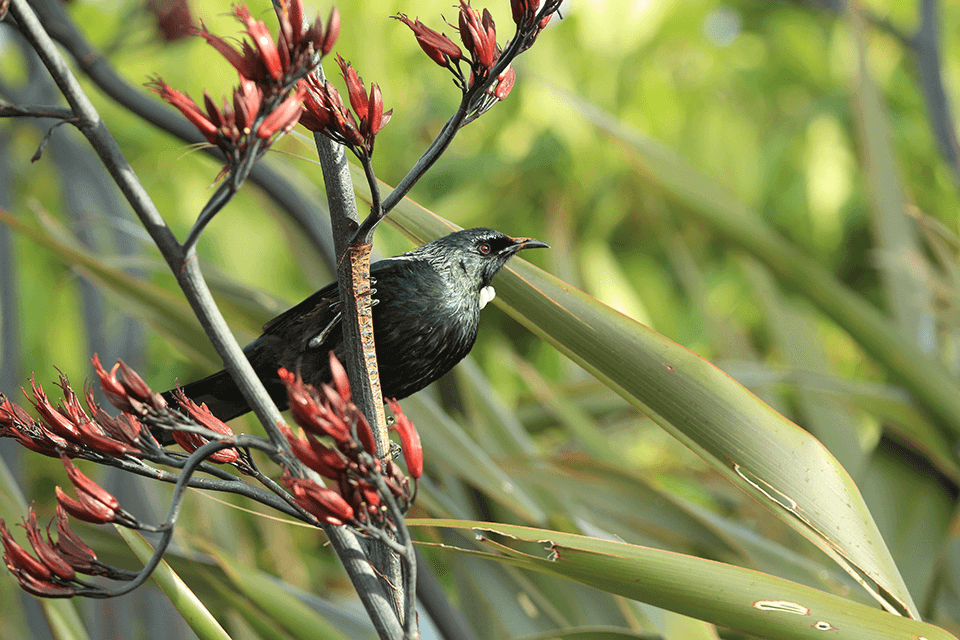 Close up of a Tui which is perched amongst the flowers of a Harakeke or Flax bush